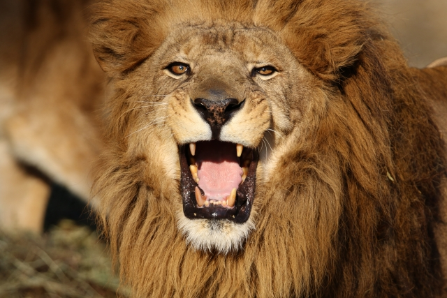 夢占い「ライオン」の夢の診断結果