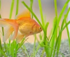 夢占い「金魚」に関する夢の診断結果