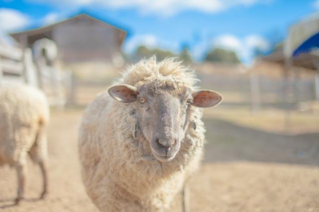夢占い「羊」に関する夢の診断結果