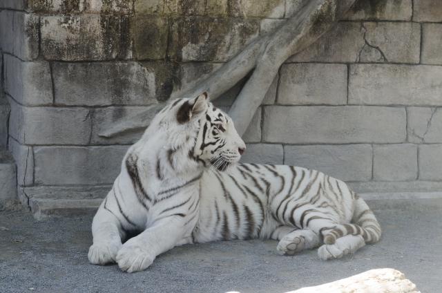 夢占い「白い虎」に関する夢の診断結果7選