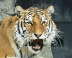夢占い「虎に噛まれる」夢の診断結果