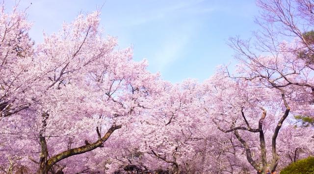夢占い「桜が満開」の夢の診断結果