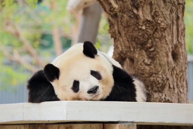夢占い「パンダ」に関する夢の診断結果