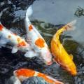 夢占い「鯉」に関する夢の診断結果