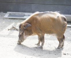 夢占い「猪」に関する夢の診断結果