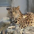 夢占い「豹(ひょう)」に関する夢の診断結果