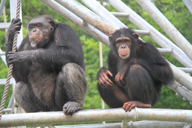 夢占い「チンパンジー」に関する夢の診断結果