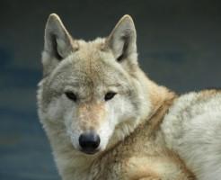 夢占い「狼」に関する夢の診断結果